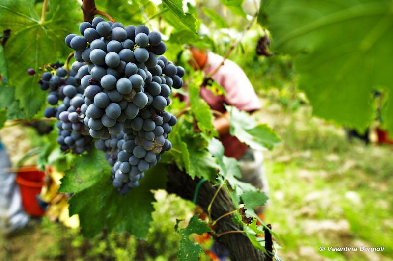 schiacciata con l'uva, toc toc firenze